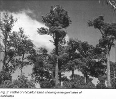 Fig. 2 Profile of Riccarton Bush showing emergent trees of kahikatea