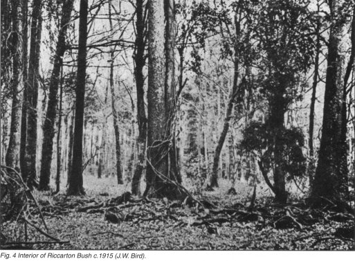Fig. 4 Interior of Riccarton Bush c. 1915 (J.W. Bird)