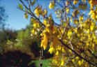 Sophora tetraptera, Kowhai. Image courtesy of The New Zealand Arboricultural Association. Photograph taken by Lance Goffart-Hall.