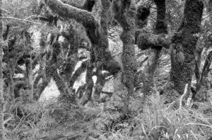 Figure 2. Kamahi (Weinmannia racemosa) dominated goblin forest at North Egmont.