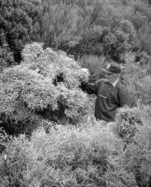 Figure 3. Melicytus drucei shrubs on the margins of Ahukawakawa Swamp (Dr Brian Molloy as scale).