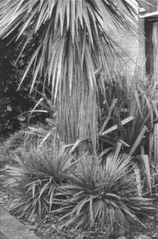Fig. 2: Cordyline 'Ti Tawhiti' growing at the base of a cabbage tree (C. australis).