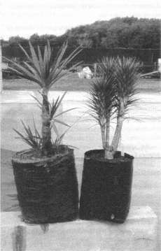 Fig. 3: Cordyline 'Ti Tawhiti' (left) and C. 'Karo Kiri'.