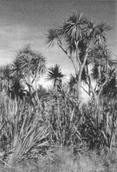 Fig. 4: Cabbage trees (Cordyline australis) with flax (Phormium tenax) in a natural stand at Dipton, Southland.