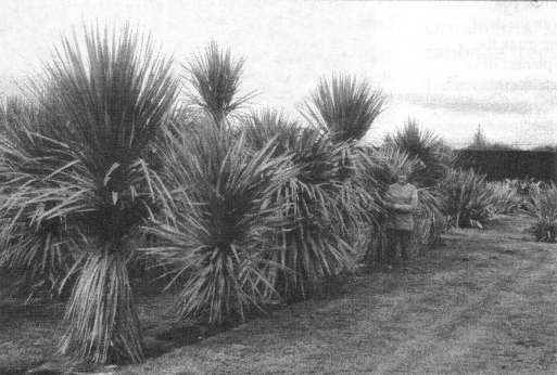 Fig. 5: Five-year old cabbage trees (Cordyline australis) of different provenances in experimental garden cultivation at Lincoln in spring 1999.