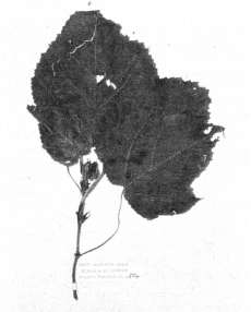 Fig.1: Herbarium specimen of aute (paper mulberry, Broussonetia papyrifera) introduced to New Zealand from the Pacific by Maori. It was collected in the Bay of Islands in 1769 in the course of Captain Cook's first voyage to New Zealand.