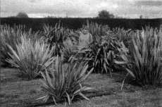 Fig. 2: Sue Scheele, leader of a research programme undertaken by Manaaki Whenua - Landcare Research and Maori weavers on the traditional uses of native plants, with Maori weaving varieties of harakeke (Phormium tenax) growing at Lincoln.