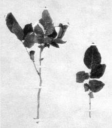 Fig. 3: This herbarium specimen of potato (Solanum tuberosum), collected during Dumont D'Urville's exploration of Tasman Bay in 1827, provides one of the first records of crop plants Europeans introduced to New Zealand.