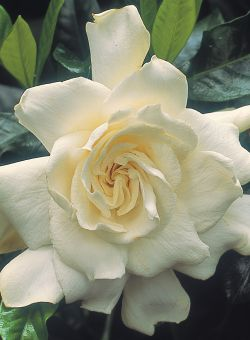 Rnzih plant doctor yellowing gardenias both my gardenia radicans and gardenia jasminoides var veitchii have yellow leaves and no flowers ive tried fertilising them but theyre still not doing mightylinksfo