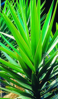 when an how to cut yucca plants