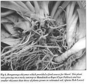 Fig. 6 - rhizomes