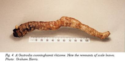Fig. 4. A Gastrodia cunninghammii rhizome. Note the remnants of scale leaves. Photo: Graham Harris.