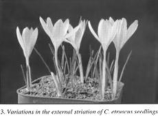 3. Variation in external striation of C. etruscus seedlings