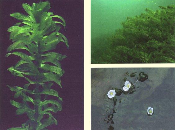 Las Elodeas: las plantas mas comunes en nuestros acuarios Egeden
