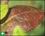 Bronzing effect caused by thrips