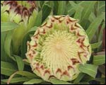 Protea Limelight