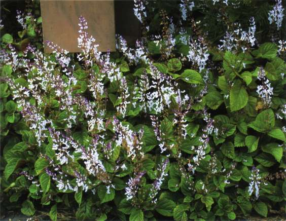 RNZIH - Horticulture Pages - Weeds - Plectranthus ciliatus ...